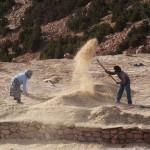 La moisson au village de Chaabt