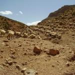 Le troupeau sur les collines de Chaabt